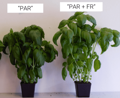 Basil plants-1