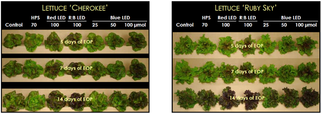 Picture display of the effects of LED supplemental lighting on Cherokee and Ruby Sky Lettuce